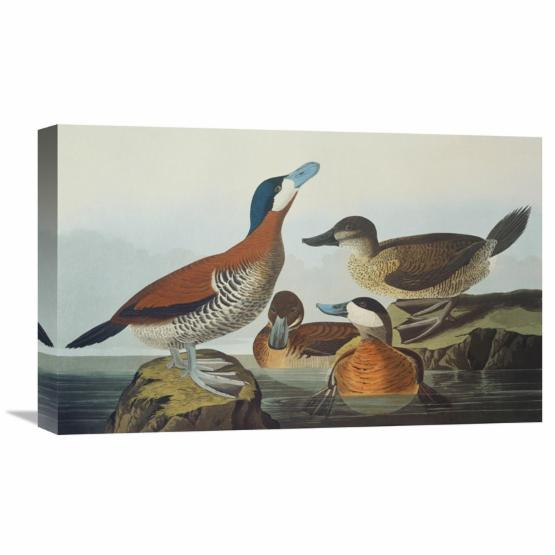 Global Gallery Ruddy Duck Wall Art