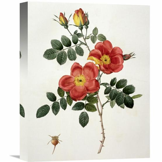 Global Gallery Rosa Eglanteria (Punicea) Wall Art