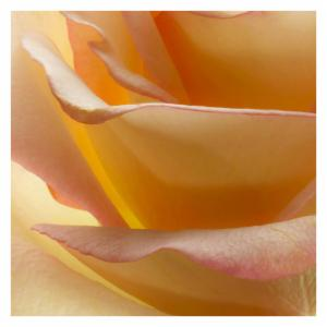 Macro Series Rose Canvas Wall Art by Richard Reynolds - 24W x 24H in.