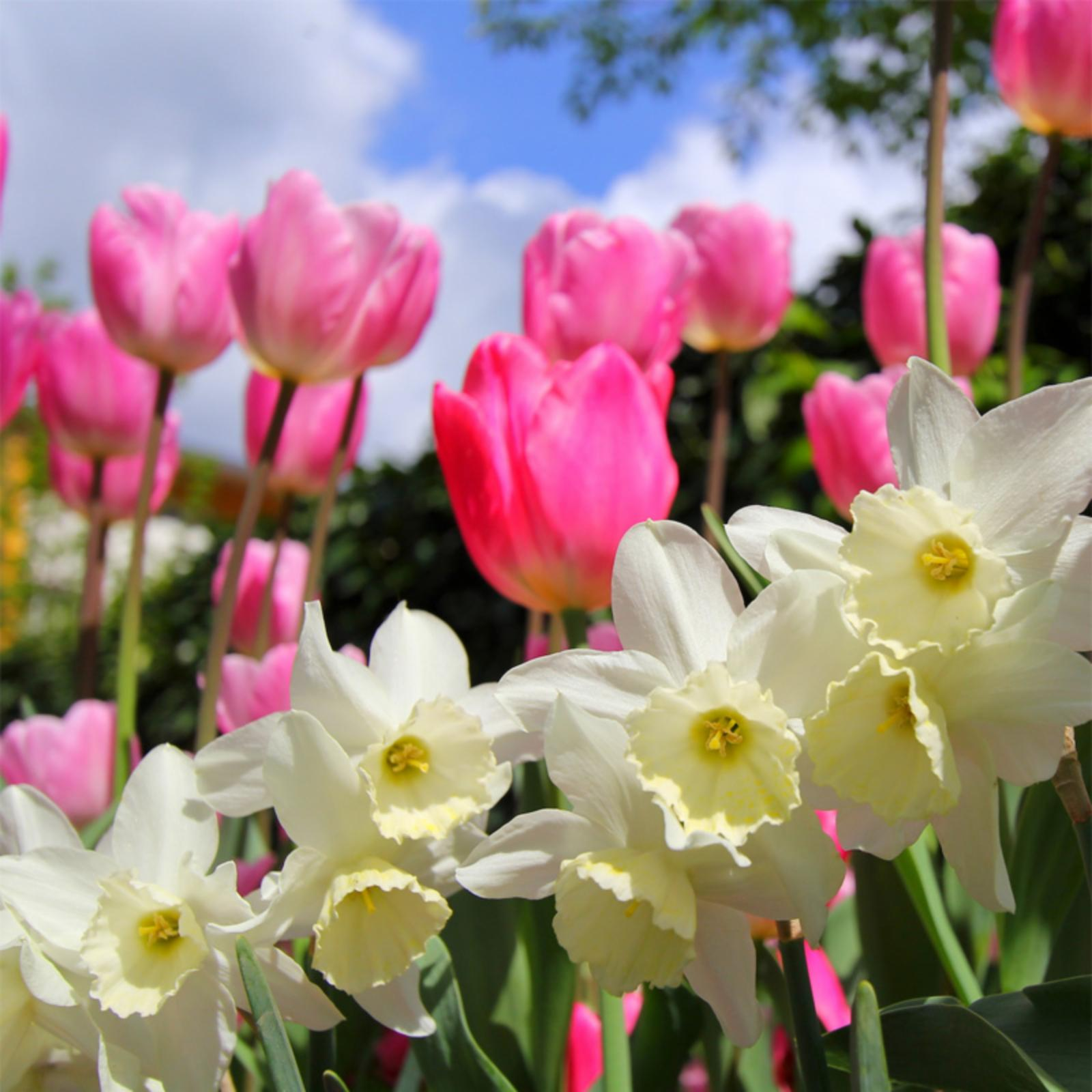 Touch Of ECO Pink Tulip and Daffodil Mixed Flower Bulb Co...